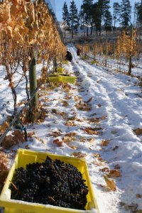 Tantalus Vineyards ice wine harvest 2013