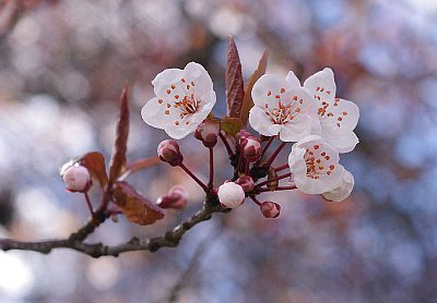 Cherry blossoms in Vancouver (image from Wikipedia Commons)